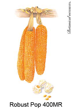 Corn Robust