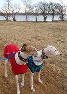 Ohio Greyhound in sweater