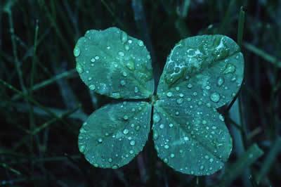dewy-clover.jpg