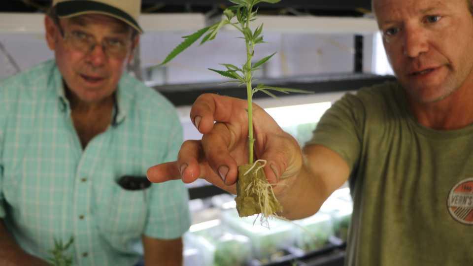 Up close of rooted hemp clone