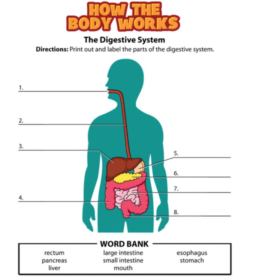 Digestive System free online exercise