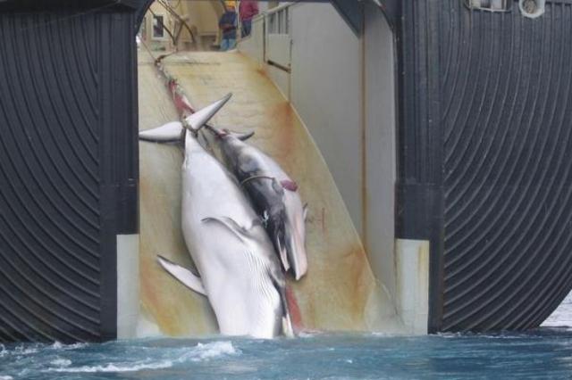L'Australie se bat pour faire interdire la chasse à la baleine.