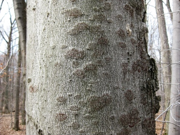 Beech bark disease on beech tree - St. Joseph's Island, Sault Ste. Marie District