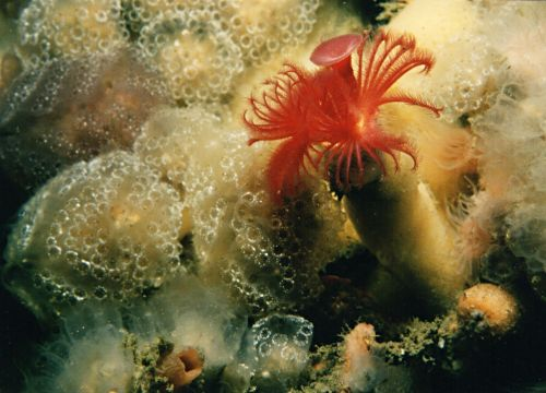 Feather Tunicate