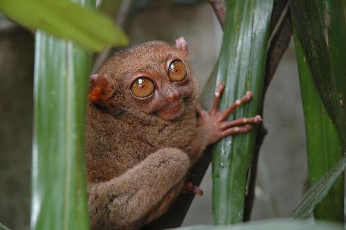 Tarsier - Bohol, Central Visayas, Filipijnen