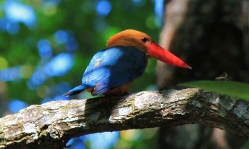 IJsvogel in de mangroven van Port Barton, Palawan, Filipijnen