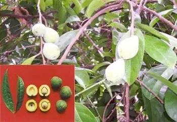 Galo + Philippine fruit