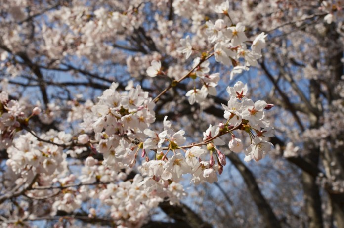 Thousand of people come to see the blooms during the Cherry Blossom Festival at High Park