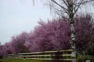 Blooming trees 3-10-15