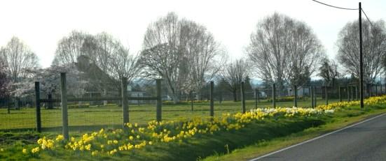 Daffodils on River Road 3-12-15
