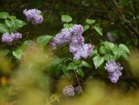 4-11-15 lilacs