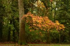 11-05-15 oak tree