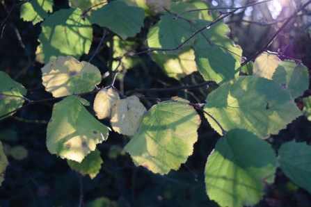 11-6-15 backlit leaves