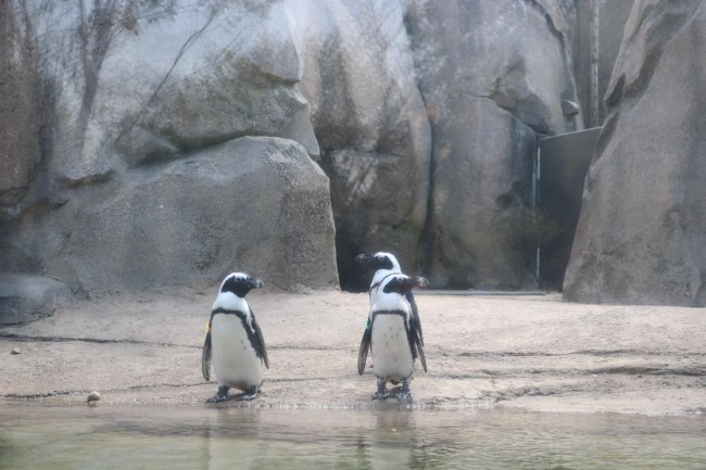 Cute little penguins at Lincoln Park Zoo