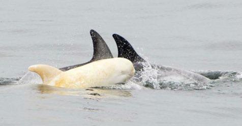 Ένα άσπρο δελφίνι εμφανίστηκε μετά από χρόνια εξαφάνισης