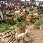 good-breed-nigerian-goat