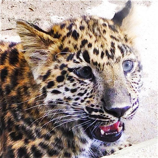 Oh, is this a Furry? No, it's a baby Amur leopard!