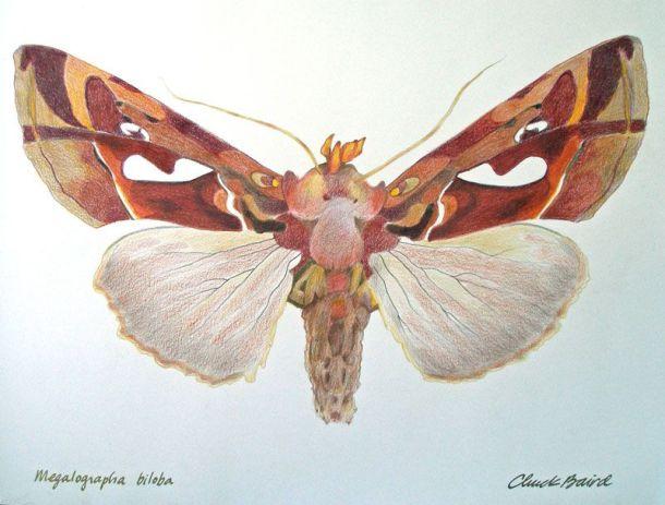 CBaird Moth
