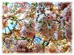 Kirschblüten2