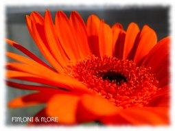 orange_Gerbera3
