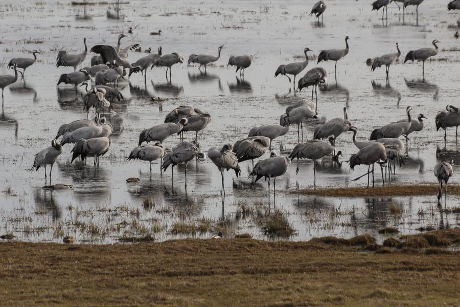 Cranes at pulken, Sweden