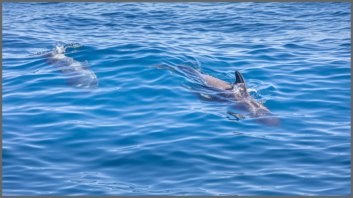 Close up on two Pilot whales in La Gomera