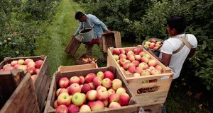 Workers harvest early apples July 9, 2015 at Samascott Orchards in Kinderhook, New York. (AP file photo)