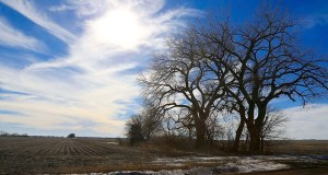 Trees dominate a field Jan. 16 through which the Keystone XL pipeline is planned to run, near Bradshaw, Nebraska. TransCanada Inc. said it will abandon its current efforts to invoke eminent domain through the courts and will instead seek a review from the Nebraska Public Service Commission. (AP file photo)