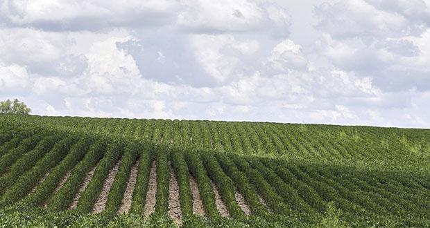 This July 30, 2018, photo shows rows of soybean plants in a field near Bennington, Nebraska. (AP file photo)
