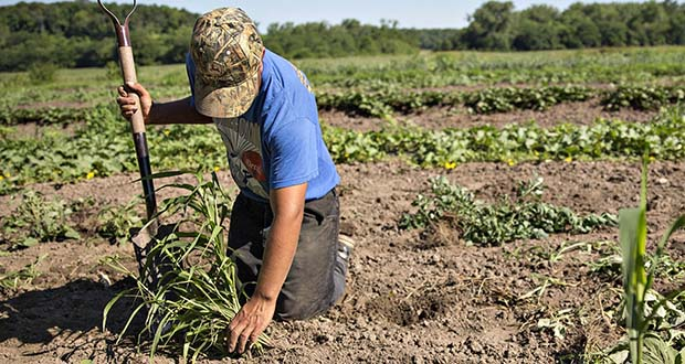 """A farmer pulls weeds from a field in Tiskilwa, Illinois. The Federal Reserve Bank of Chicago, which covers five Midwestern states, reported Thursday that farm credit conditions """"slid yet again"""" in the third quarter. (Bloomberg file photo)"""