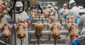 In this Dec. 12, 2019, file photo workers process chickens at the Lincoln Premium Poultry plant, Costco Wholesale's dedicated poultry supplier, in Fremont, Neb. (AP Photo/Nati Harnik, File)