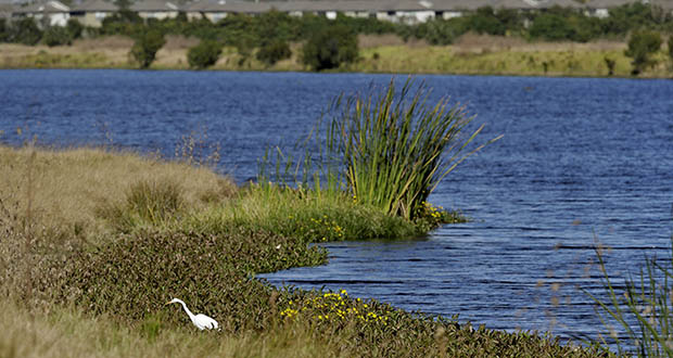 The Trump administration announced Thursday one of its most momentous environmental rollbacks, removing federal protections for millions of miles of the country's streams, arroyos and wetlands. In this Tuesday, Dec. 11, 2018, photo, an egret looks for food along Valhalla Pond in Riverview, Florida. (AP file photo)