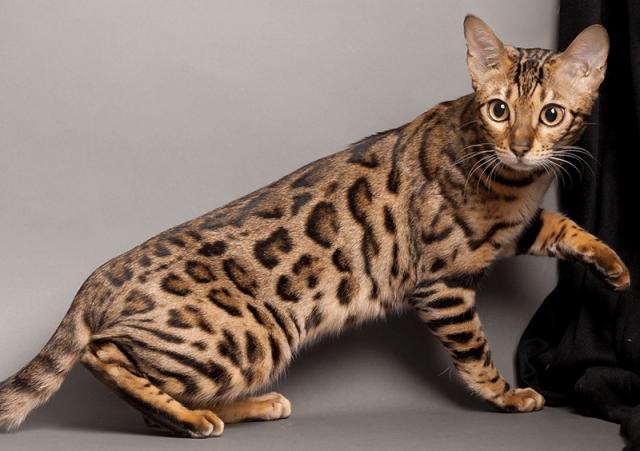 Hasil gambar untuk The Ashera Cat