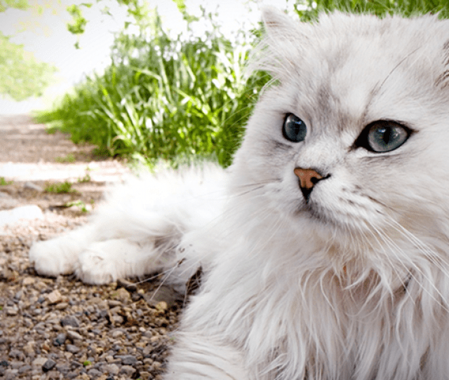 Many Reports Trace Back The Persian Cats To Th Century Persia Modern Day Iran But Historical Evidence Suggests That The Breed Has Been Existing Since