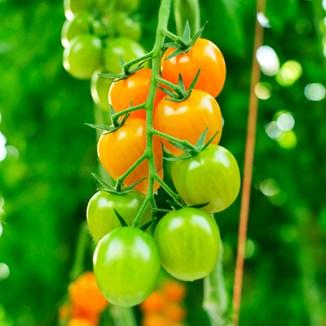 Orange Plum Vine