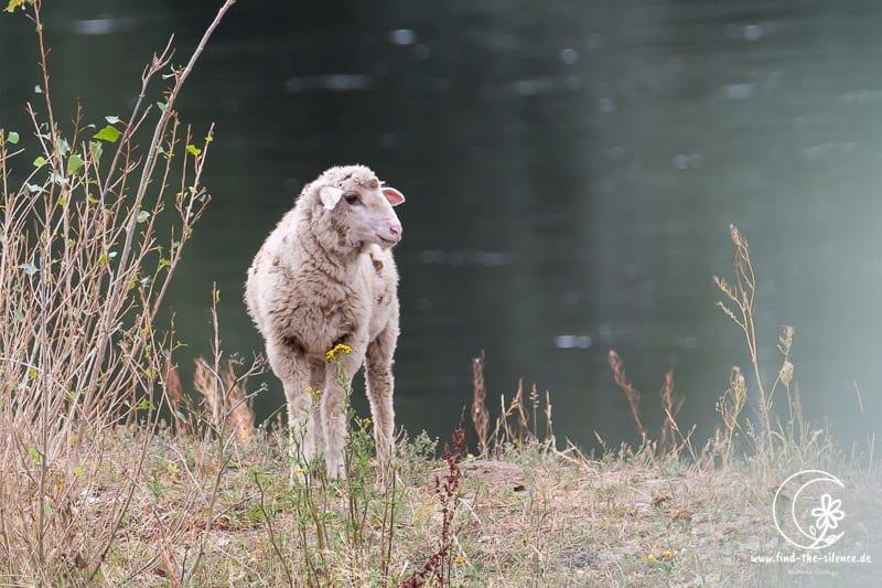 Schaf an der Elbe