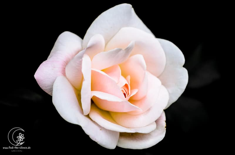 Rosenblüte des Nachbarn :-)