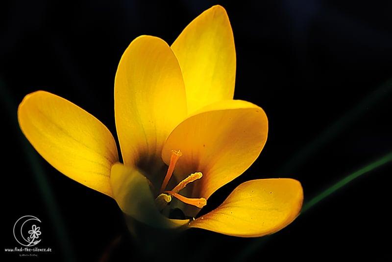 Krokus in gelb