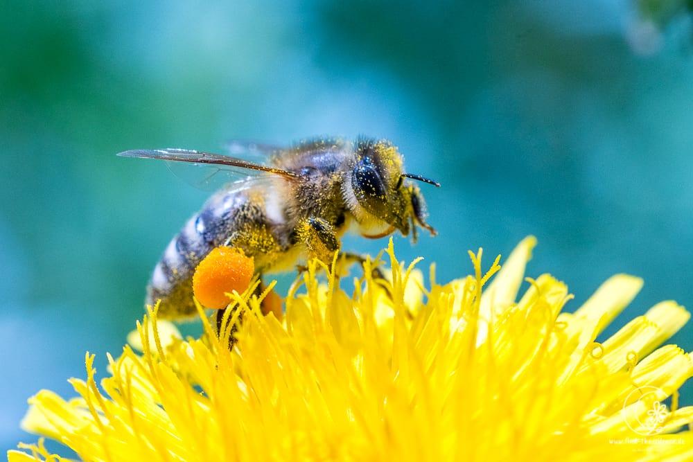 Löwenzahn-Biene