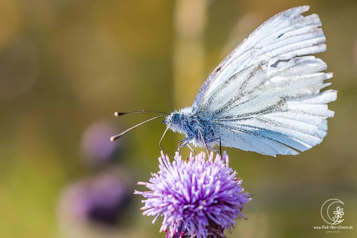 Kohlweißling (little snowflake butterfly)