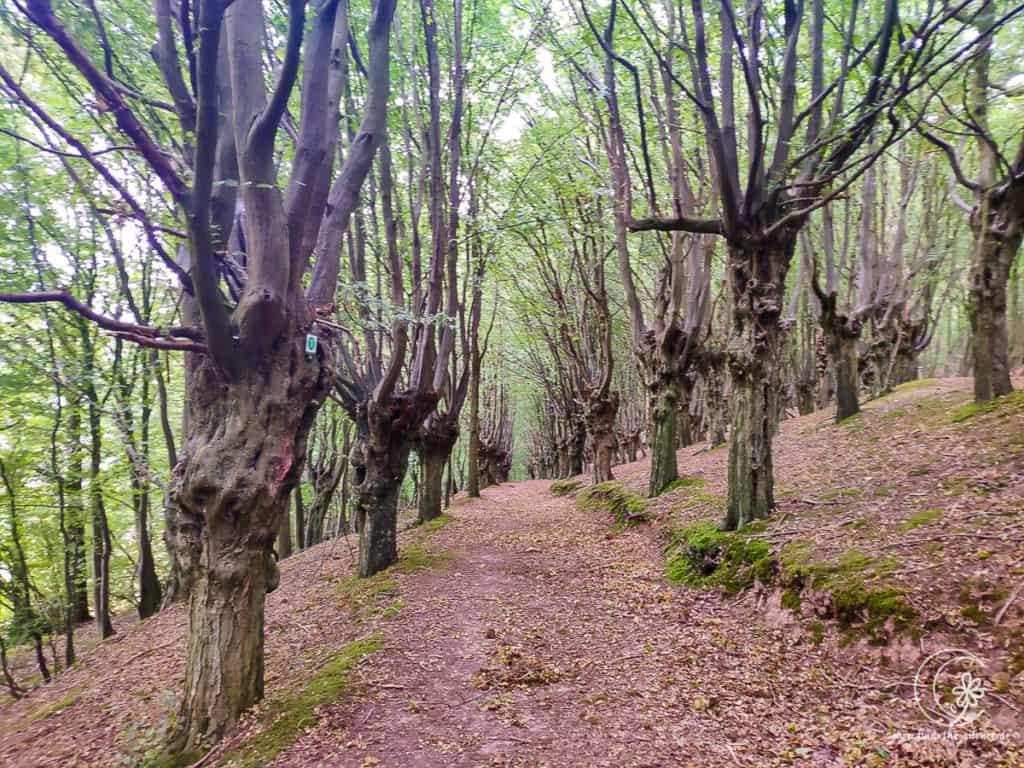 Wanderweg durch den Charakterbaum Hainbuchenwald Gieboldehausen