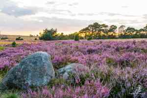 Auf der Lüneburger Heide - Geocaching Wanderung durchs Naturschutzgebiet während der Heideblüte