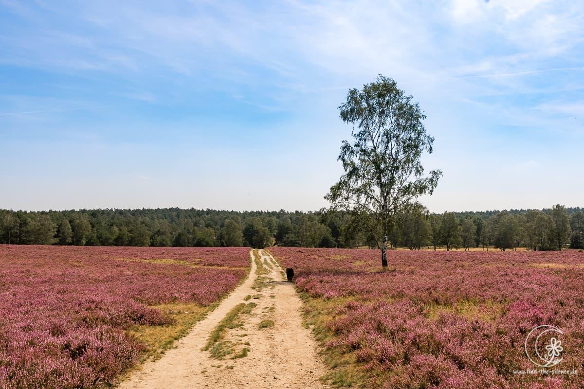 Die Lüneburger Heide in der Heideblüte