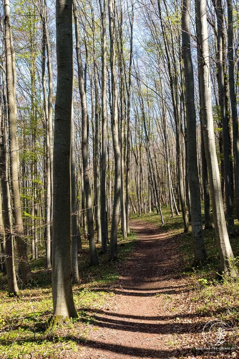 Waldwanderweg mit strammen Buchen