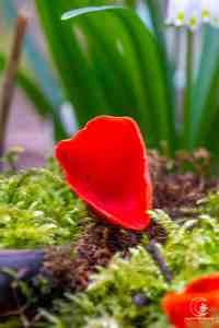 ein Pilz, keine Tulpe