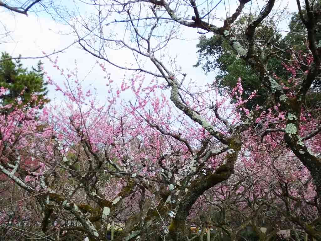 ume-blossoms-and-Uguisu-Bridge