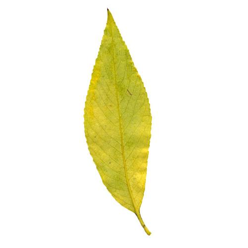 фотография Листьев ивы