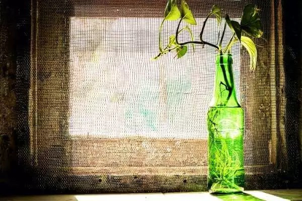 Provide indirect or filtered sunlight for money plant to grow faster