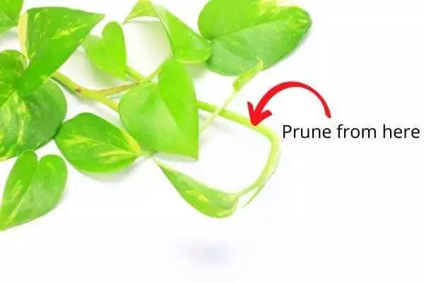 Prune thin stems on the money plant to grow faster