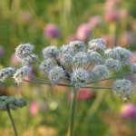 Natural Remedies for Anxiety: Angelica